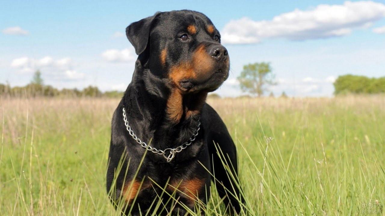 Красивый пёс смотрит в сторону в поле