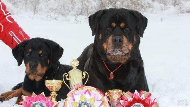 Кубки и медали породистых собак на снегу