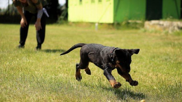 Озорной щенок бежит за предметом во дворе