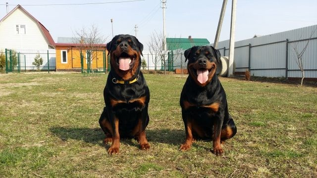 Счастливые собаки сидят во дворе дома