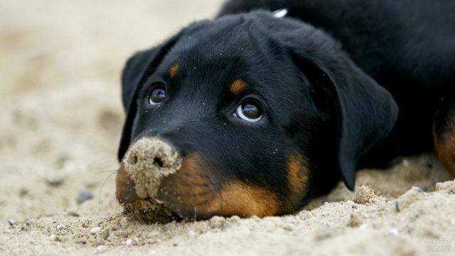 Щенок лежит на песке с вымазанным носом