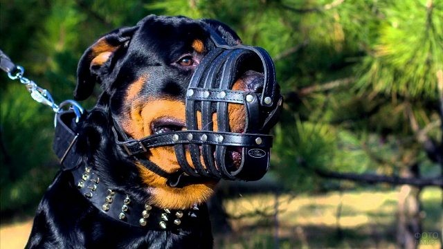 Собака в кожаном наморднике на природе