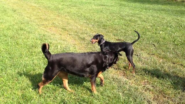 Собаки гуляют по газону