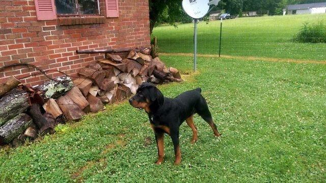 Внимательная собака наблюдает во дворе дома