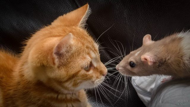 Котёнок и домашняя крыса на диване