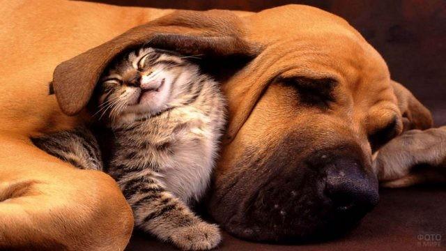 Котёнок под ухом собаки