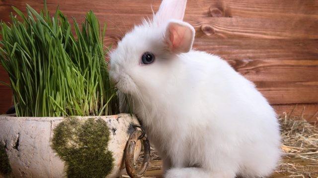 Белый кролик ест травку
