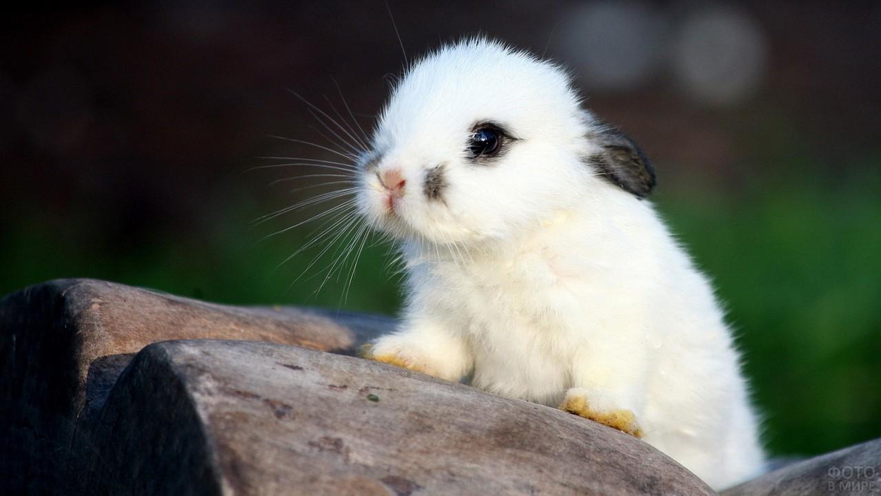 Белый кролик с чёрными ушками