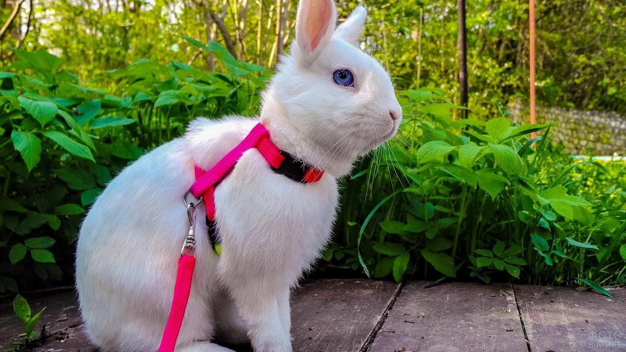 Белый кролик в розовом ошейнике