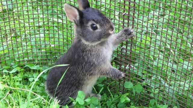 Цветной карликовый кролик держится за решётку