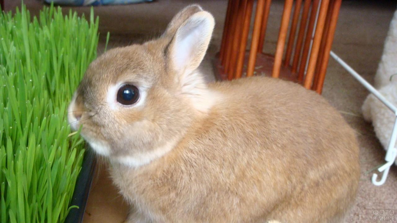 Декоративный кролик ест травку
