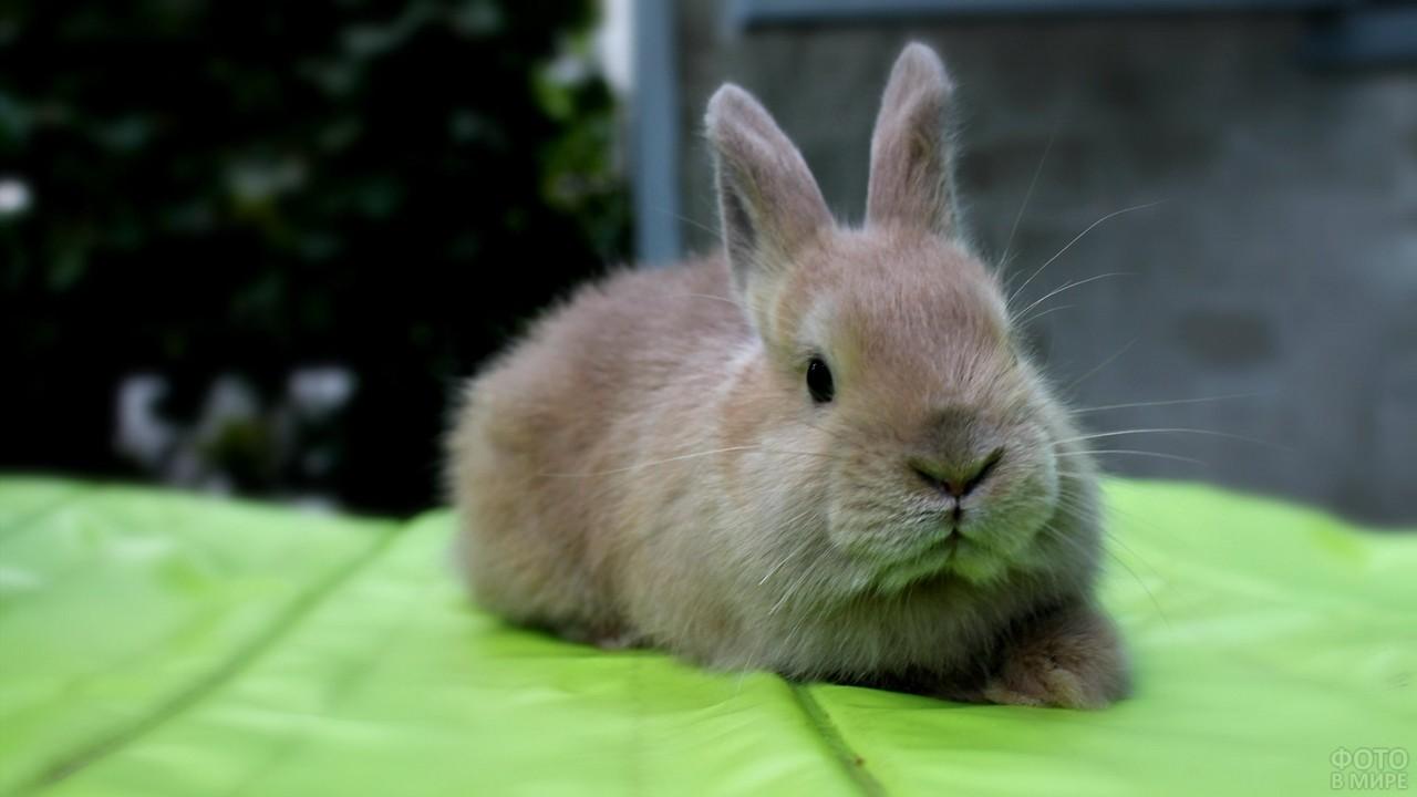 Декоративный кролик сидит на зелёном пледе