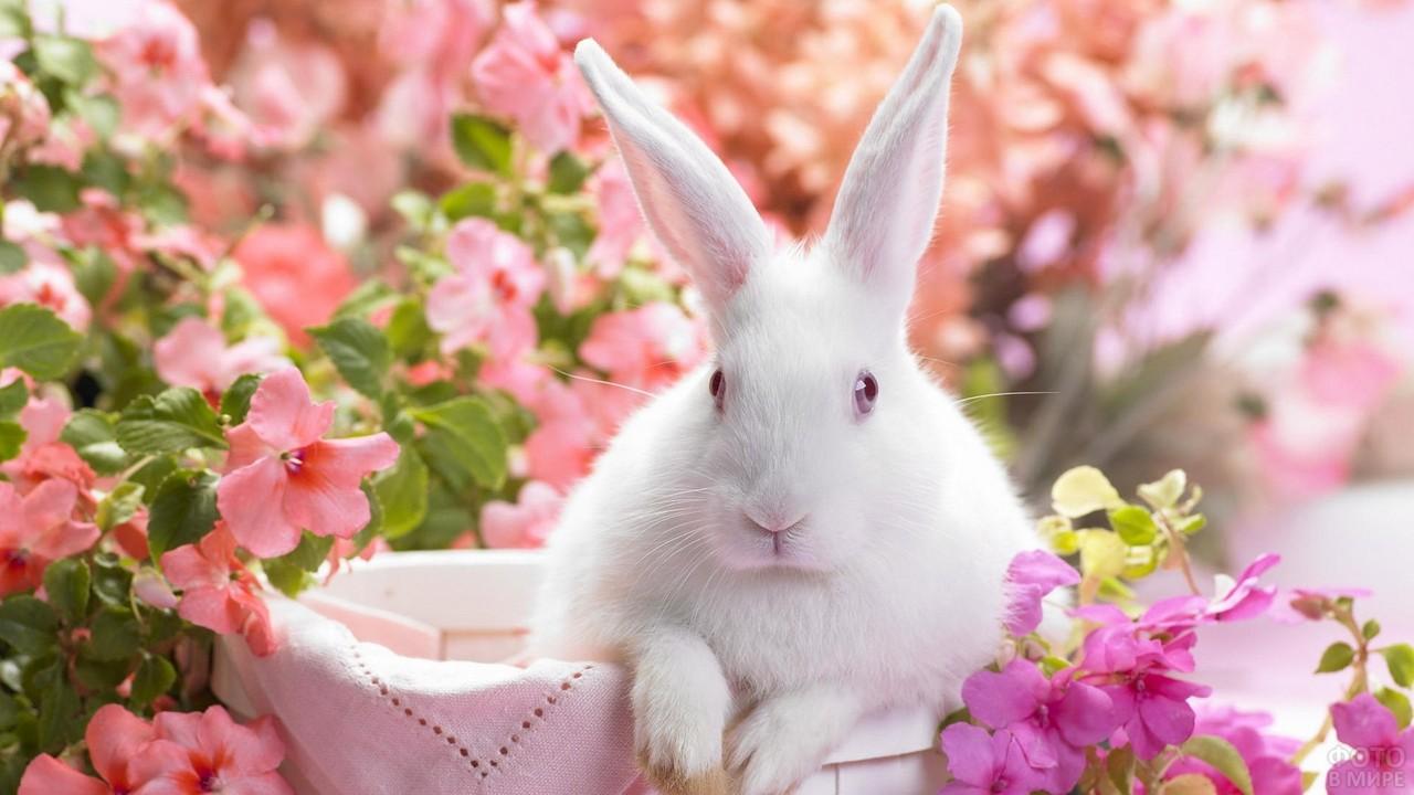 Длинноухий белый кролик