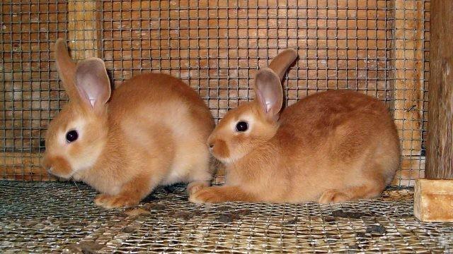 Два рыжих кролика в клетке