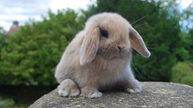 Голландский вислоухий кролик сидит на камне