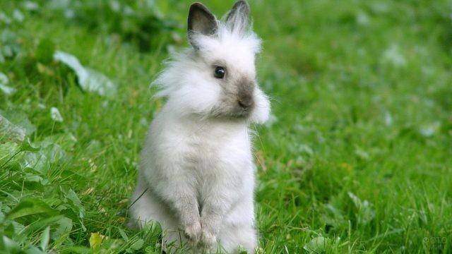 Карликовый кролик с короткими ушками