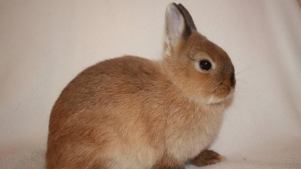 Короткошёрстный карликовый кролик