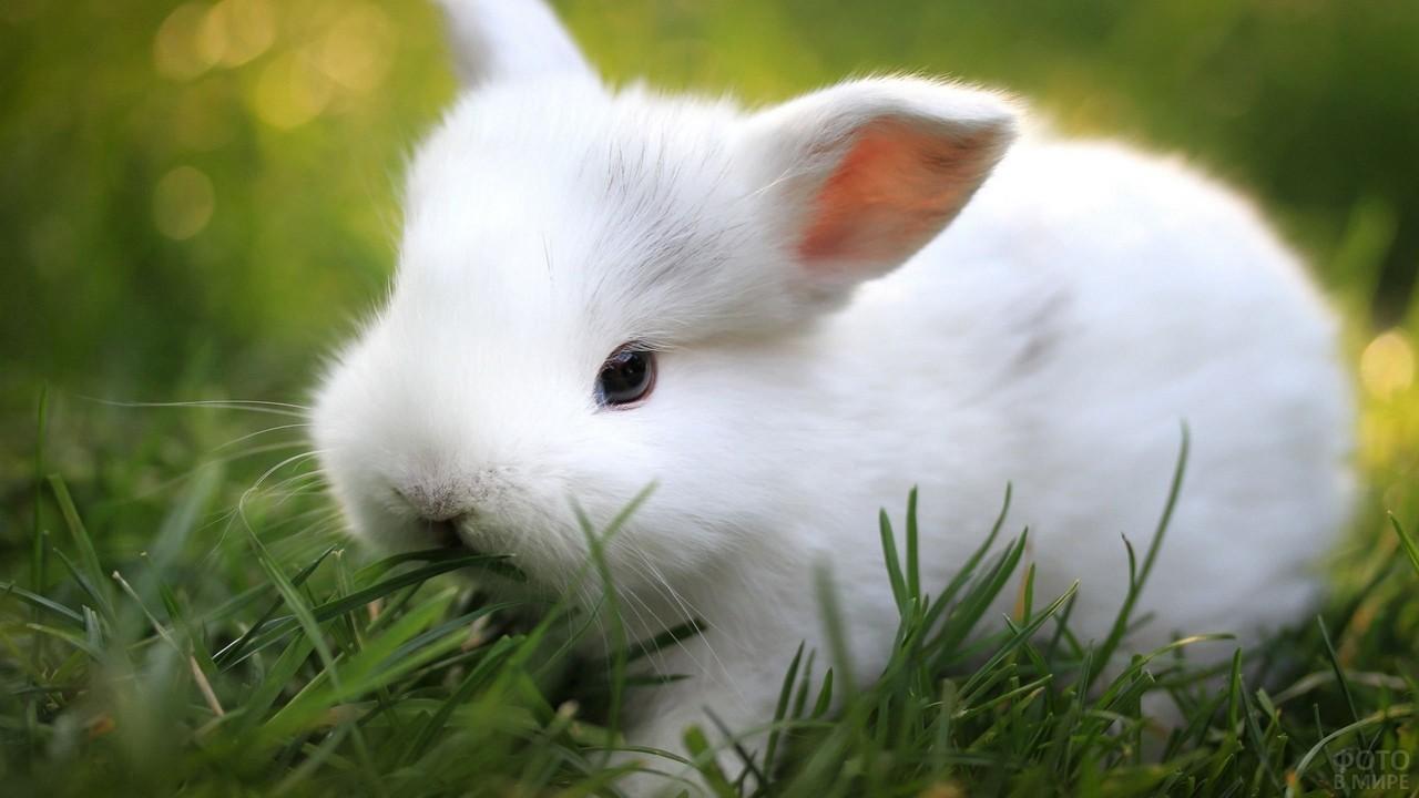 Кролик с короткими ушками