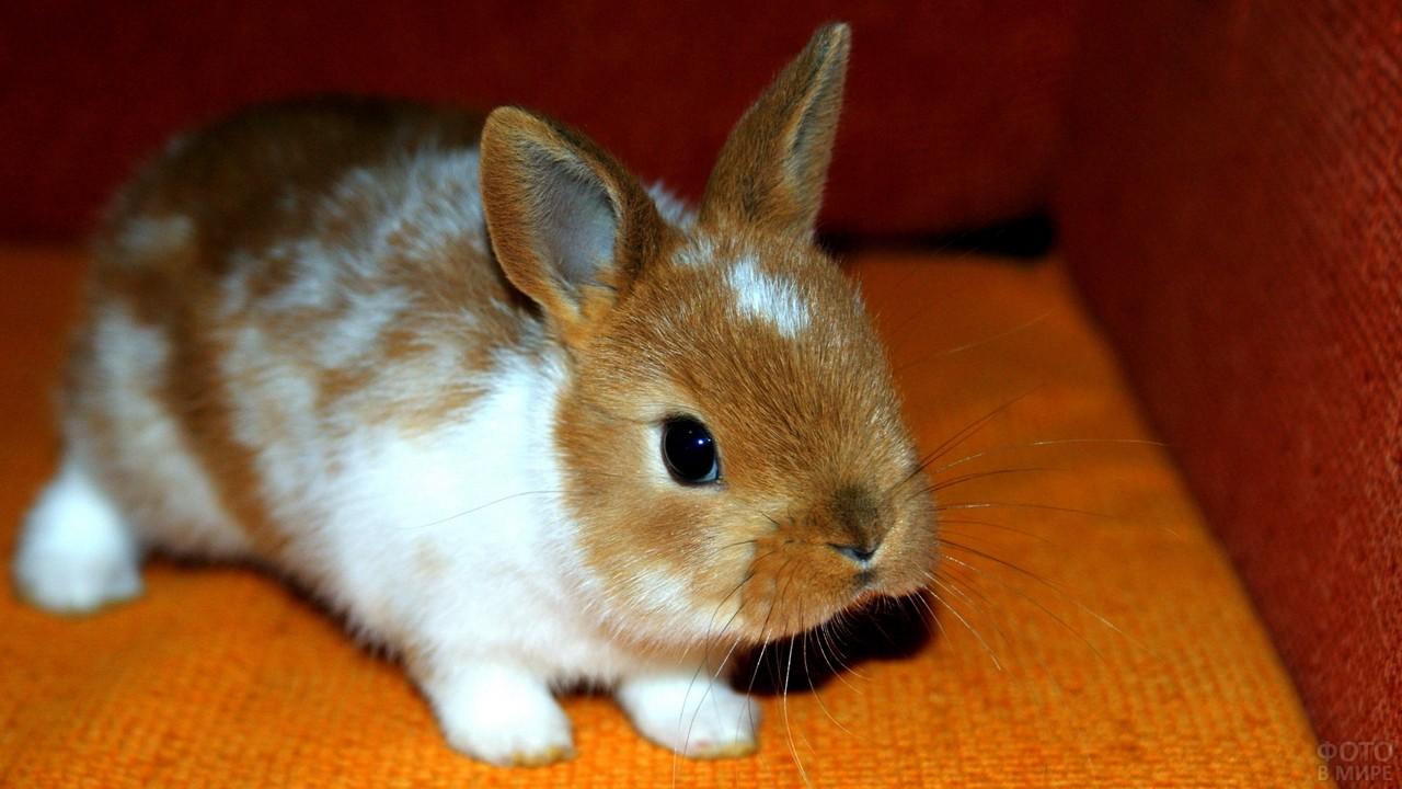 Рыже-белый карликовый кролик