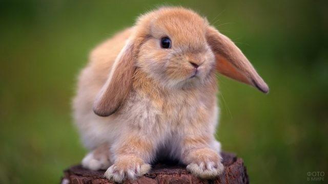 Рыжий декоративный кролик