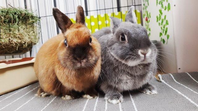 Серый и рыжий кролики