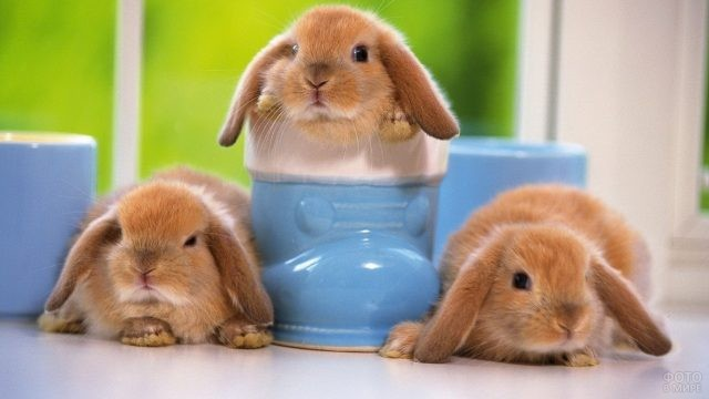 Три голландских вислоухих кролика