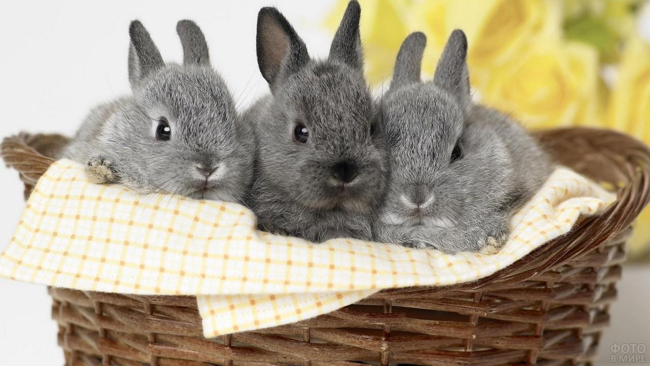 Три серых карликовых кролика