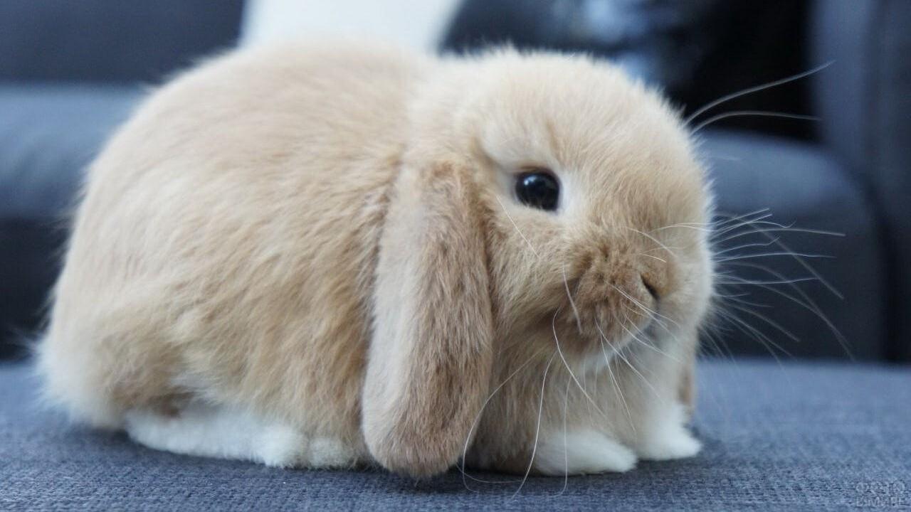 Вислоухий декоративный кролик сидит, сложа лапки