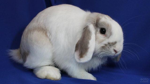 Вислоухий кролик на синем фоне