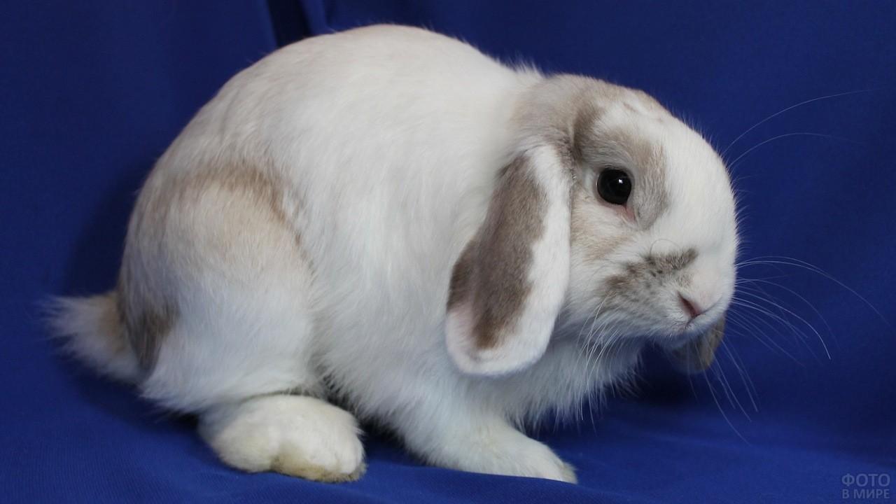 Кролик декоративный вислоухий фото