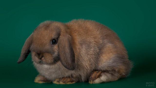 Вислоухий кролик на зелёном фоне