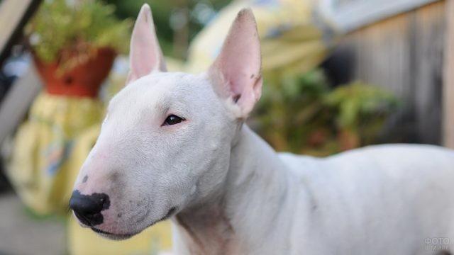 Белая собака смотрит в сторону
