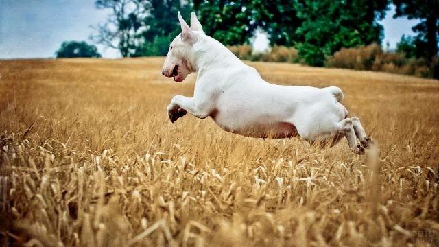 Белый бультерьер в прыжке в сухой траве