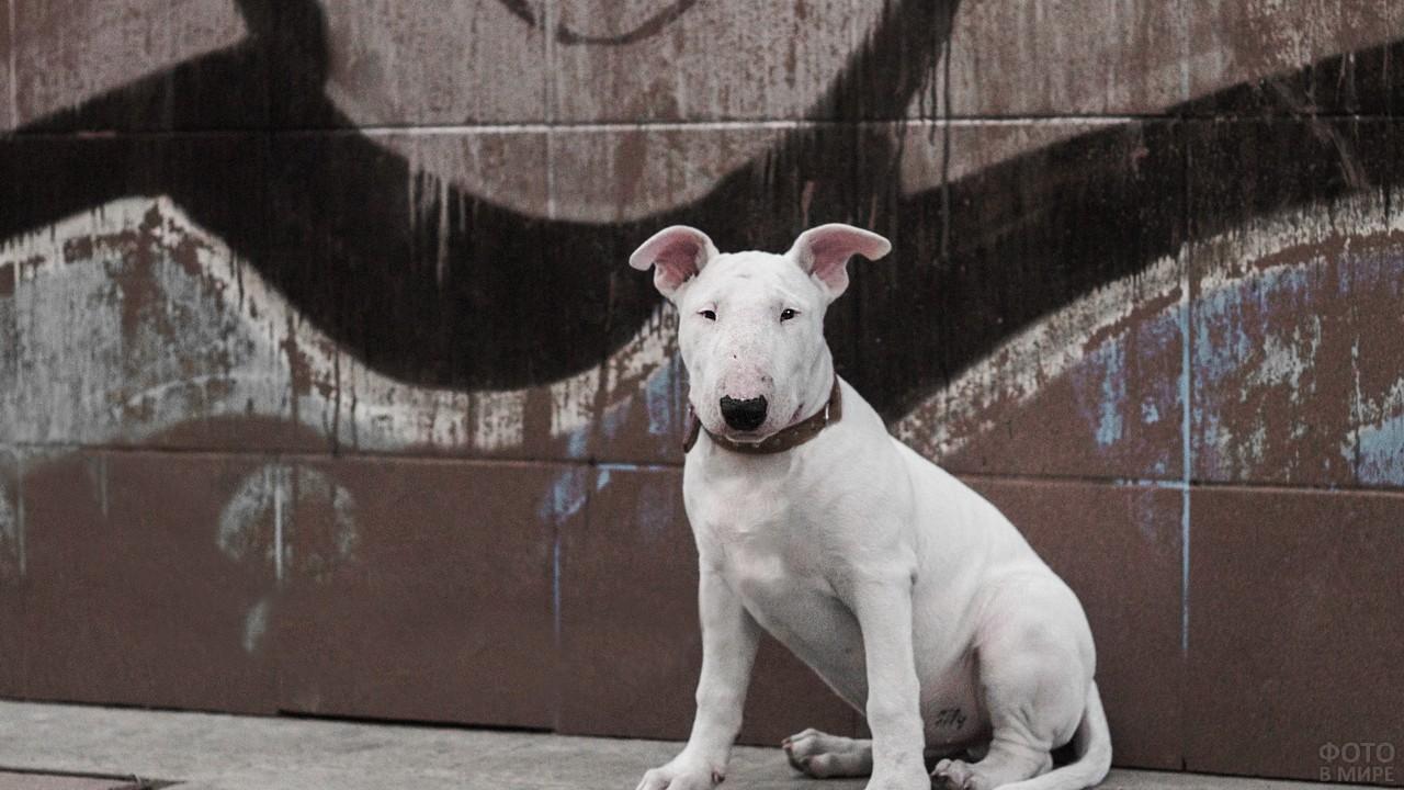 Бойцовская собака на фоне стены с граффити