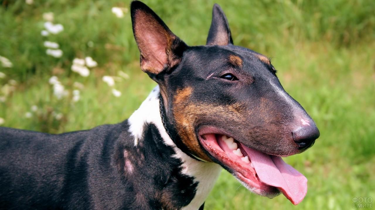 Бойцовская собака высунула язык на природе