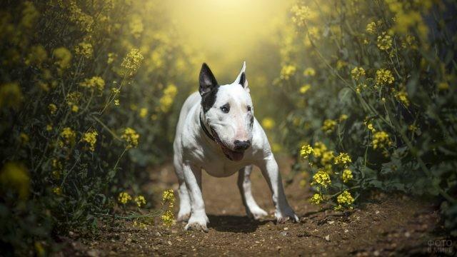 Быстрый бультерьер бежит по полю полевых цветов