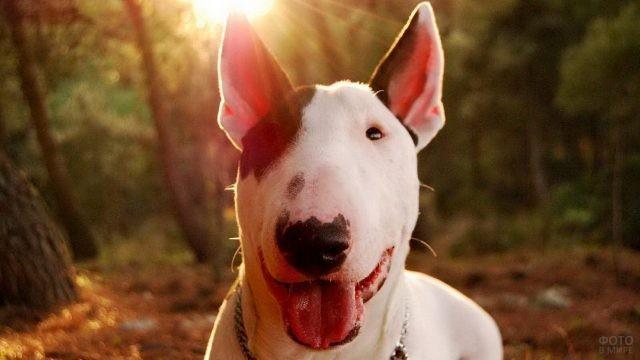 Пёс открыл пасть в лесу под заходящим солнцем