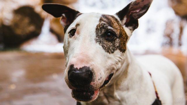 Портрет бойцовской собаки