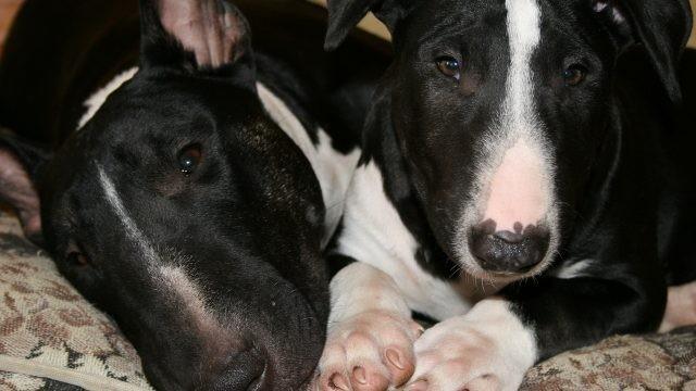 Расслабленные собаки на диване
