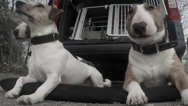 Разные собаки возле автомобиля