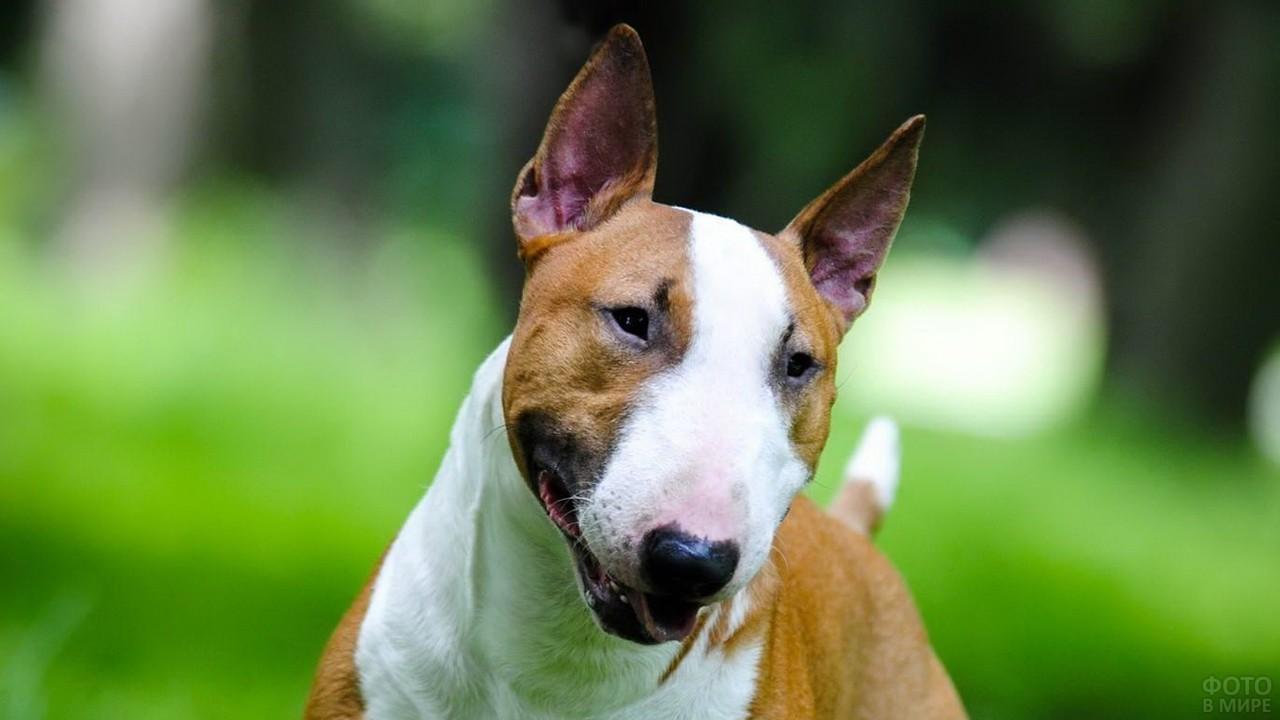 Рыжая собака наклонила голову