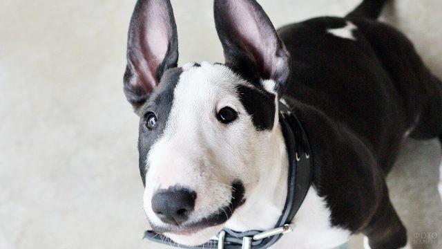 Смешной чёрно-белый пёс смотрит вверх