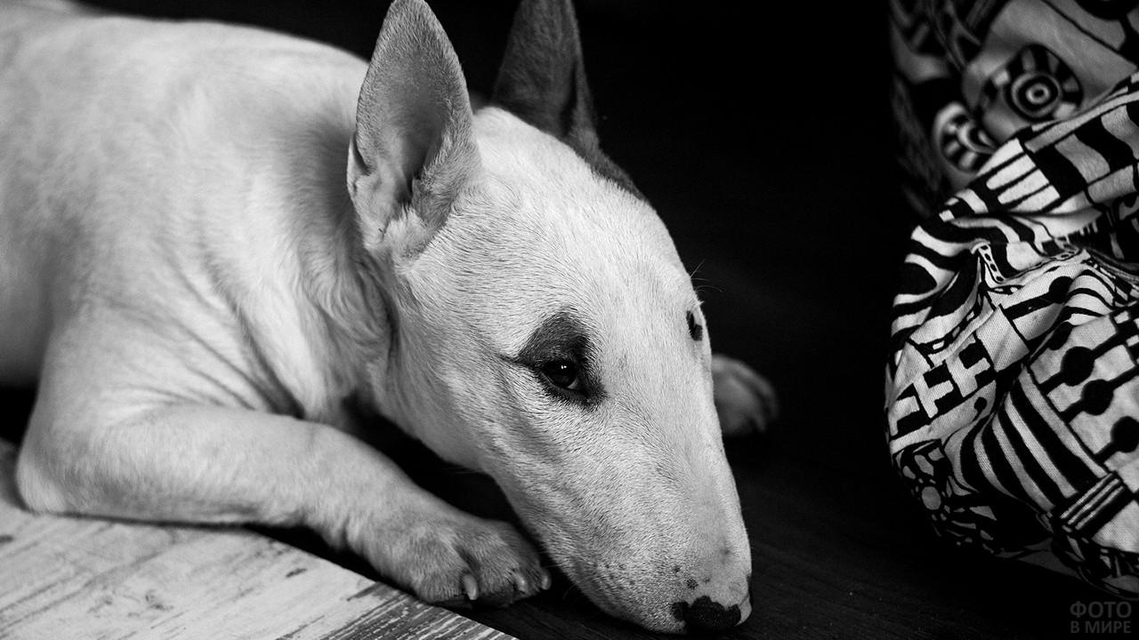 Собака лежит на полу в чёрно-белом цвете