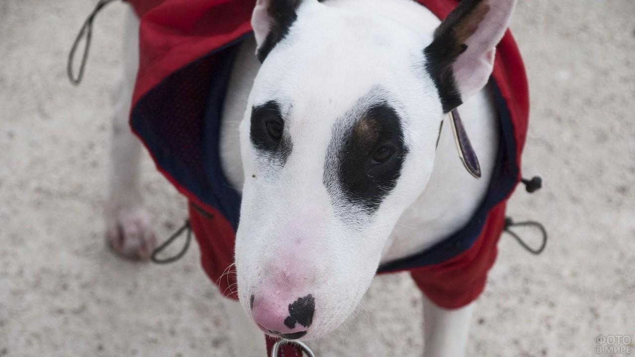 Собака в одежде с розовым носом