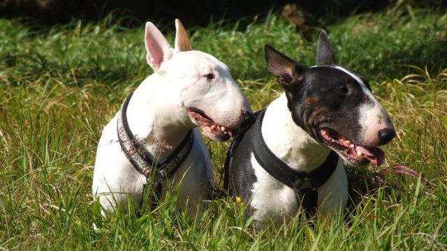 Собаки в шлейках повернули головы в сторону в траве