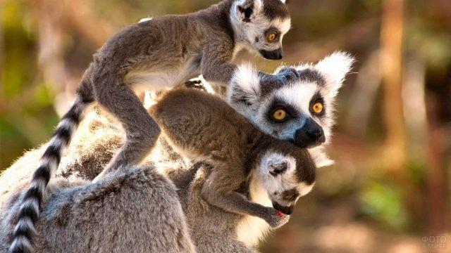 Мама-лемур с двумя малышами на спине