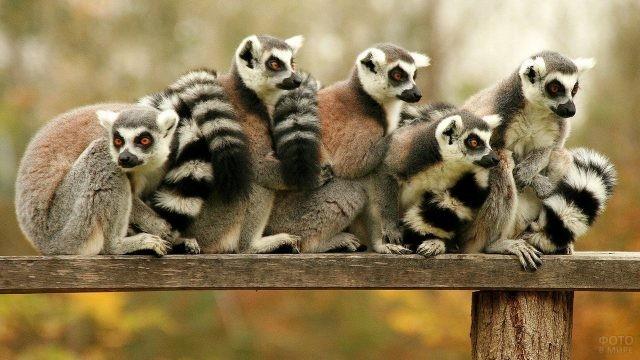 Пять лемуров сидят вместе
