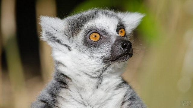 Серый лемур с жёлтыми глазами