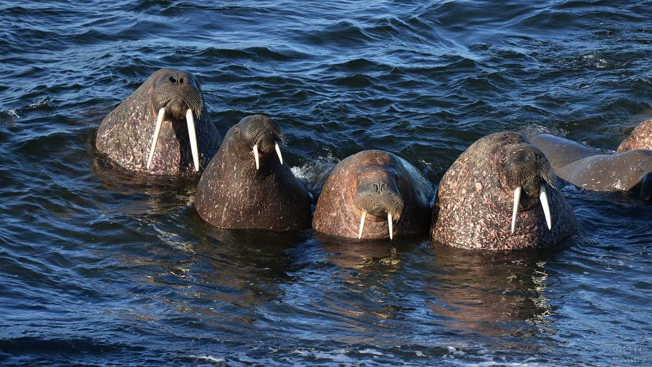 Моржи выглядывают из воды