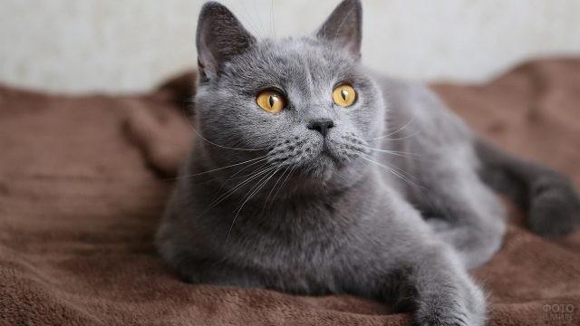Британская кошка смотрит в сторону